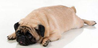 cane obeso