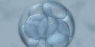 embrione umano