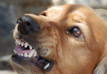 cane con rabbia