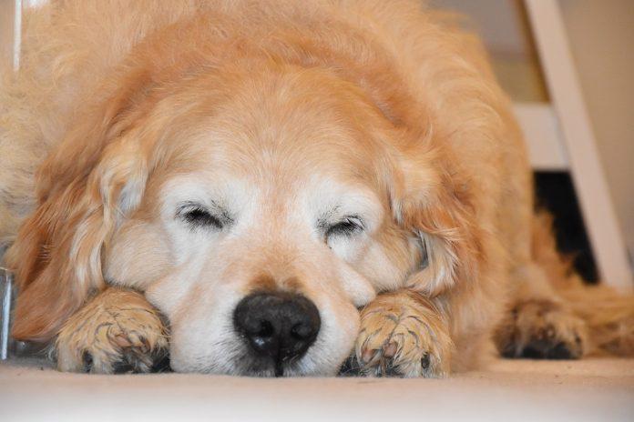 I cani sognano come gli esseri umani? Ecco cosa dice la scienza