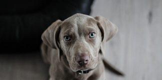 emangiosarcoma cani