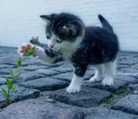 perche il gatto impasta
