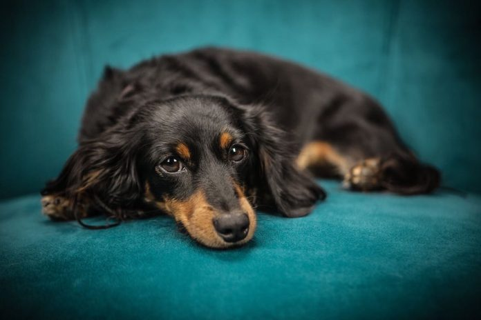 cane che si scava tana su divano