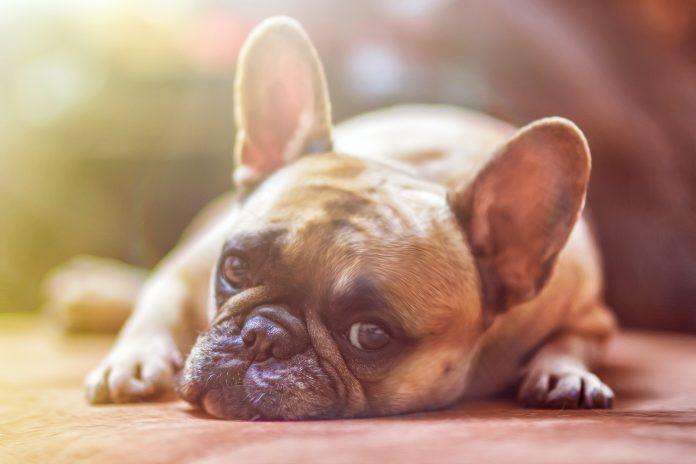 mal di testa nel cane