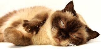 ipertermia-gatto